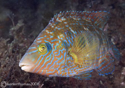 Corkwing wrasse.